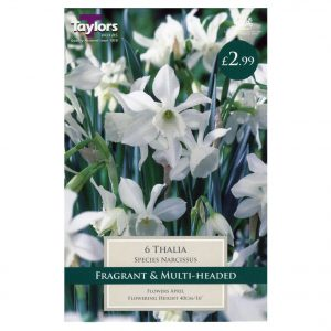 Taylors Bulbs – Species Narcissi Pre-Pak – Thalia