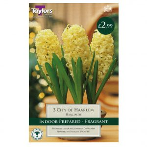 Taylors Bulbs – Indoor Prepared Hyacinths – City of Haarlem
