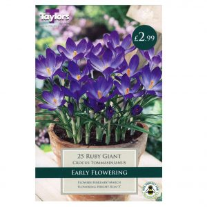 Taylors Bulbs – Species Crocus Pre-Packs – Ruby Giant